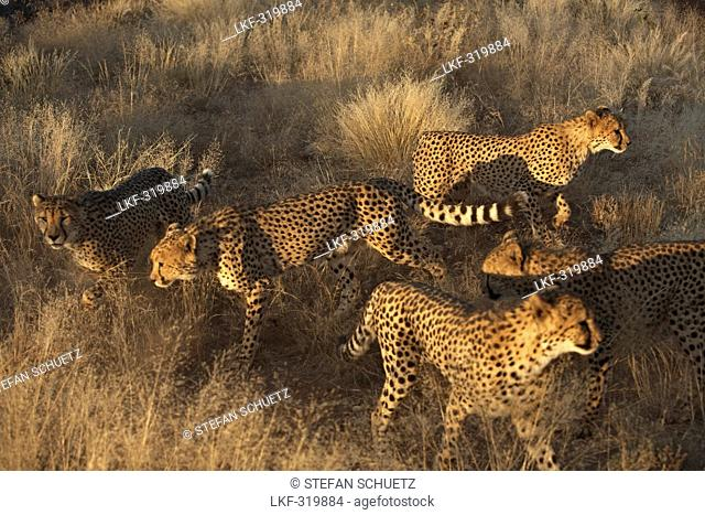 Cheetah herd at steppe, Namibia, Africa