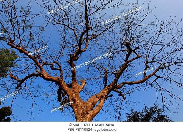 A tree at Ukhiya Cox's Bazar, Bangladesh February 2011