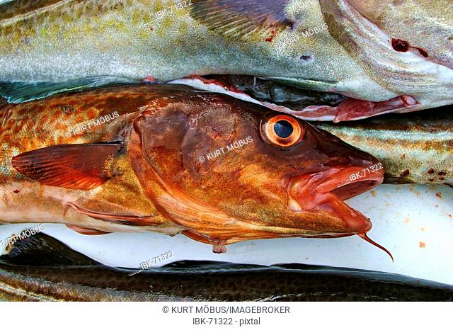Red colored head of a dead Cod Gadus morhua with orange eyes