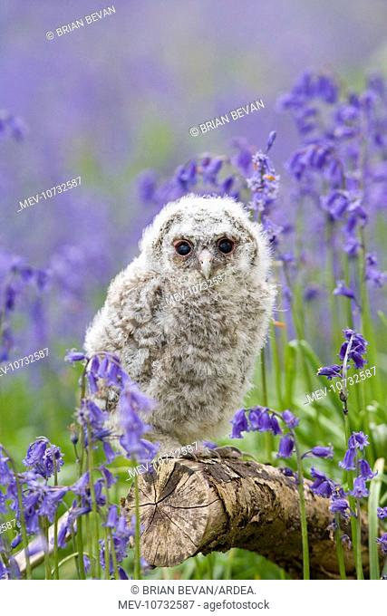 Tawny owl - youngster in bluebell woodland (Strix aluco)