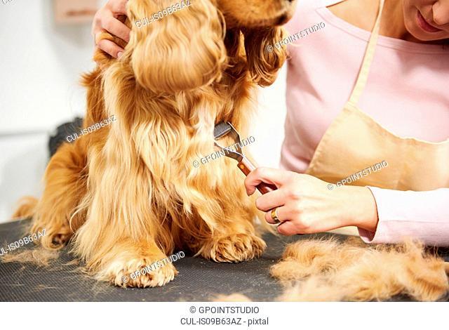 Female groomer brushing cocker spaniel's chest on table at dog grooming salon