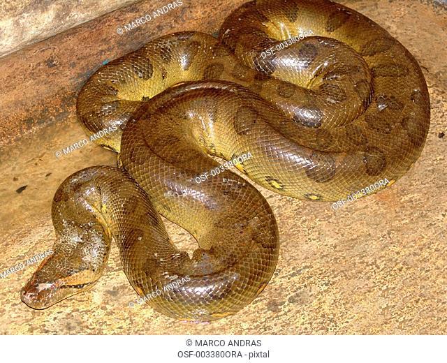 manaus am reptile snake natural animal dangerous