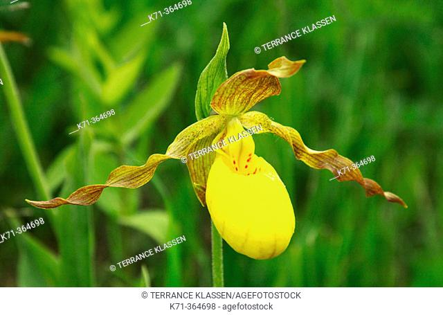 Yellow ladyslipper (Cypripedium parviflorum) var pubescens, in Southern Manitoba. Canada