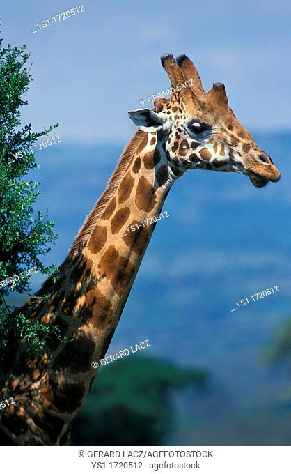 Rothschild's Giraffe, giraffa camelopardalis rothschildi, Head of Adult emerging from Bush, Nakuru park in Kenya