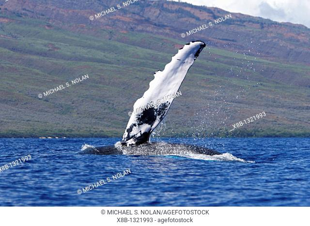 Adult humpback Whale Megaptera novaeangliae pectoral fin slapping in the AuAu Channel, Maui, Hawaii, USA  Pacific Ocean