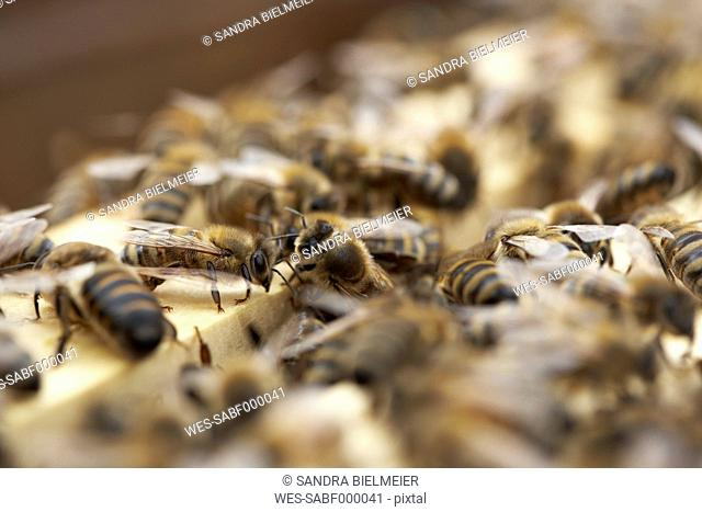 Bee colony, close-up