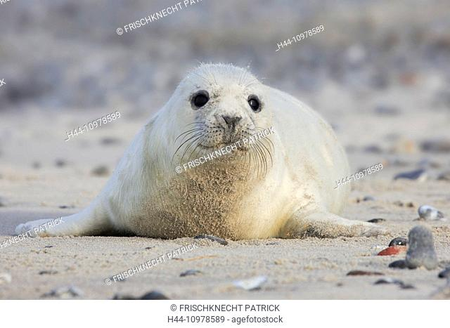 Baby animal, Germany, Europe, Halichoerus grypus, Helgoland, dune, island, isle, young, grey seal, coast, Lanugo, sea, marine mammal, nature, newborn, North Sea