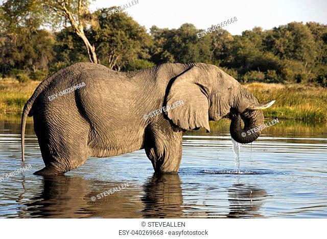 African Elephant (Loxodonta africana) in a waterhole in the Savuti area of Botswana