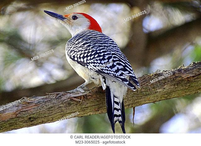 A red-bellied woodpecker, Melanerpes carolinus, pauses on a branch, Pennsylvania, USA