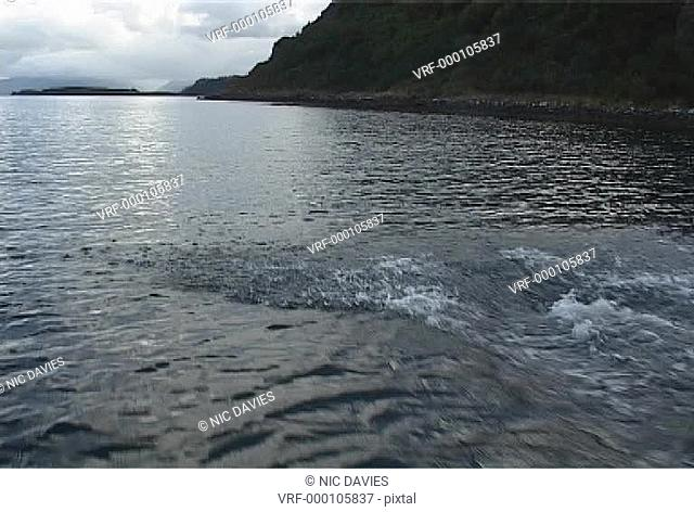 Bottlenose dolphins surfacing at speed with classic rocky shore behindHebrides, UK