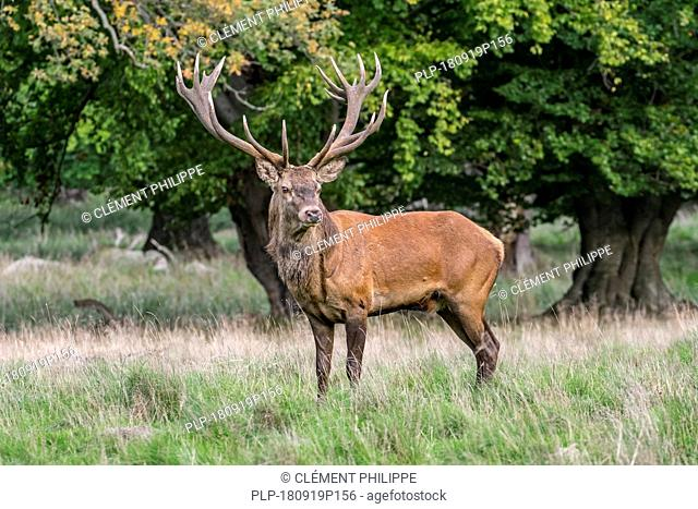 Red deer (Cervus elaphus) stag / male with huge antlers in oak forest during the rut in autumn / fall