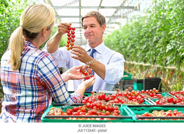 Growers inspecting ripe red vine tomatoes in crates in greenhouse