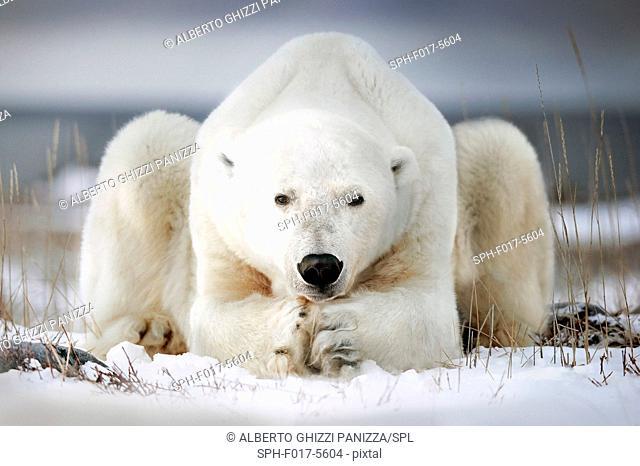 Polar bear lying on the ice. Churchill, Canada