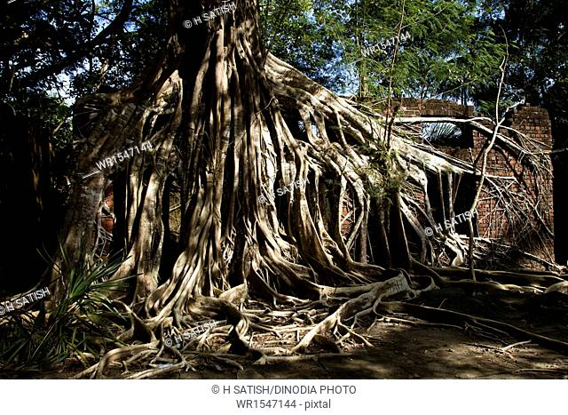 Roots of huge Banyan Tree Ross Island near Port blair Andaman islands India