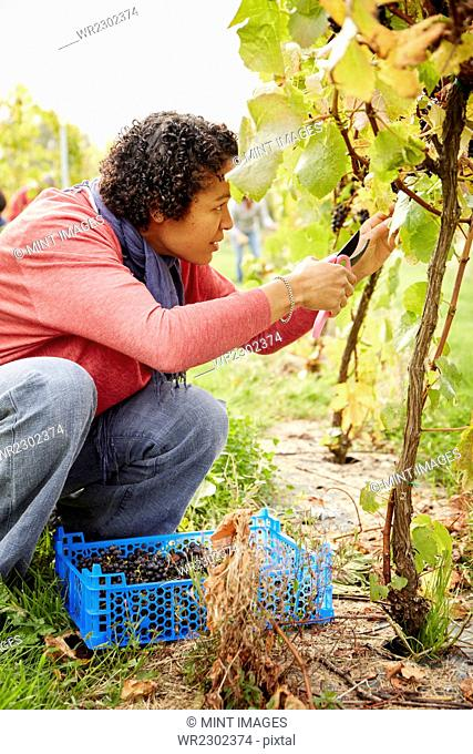 A grape picker leaning down and selecting bunches of grapes for harvest