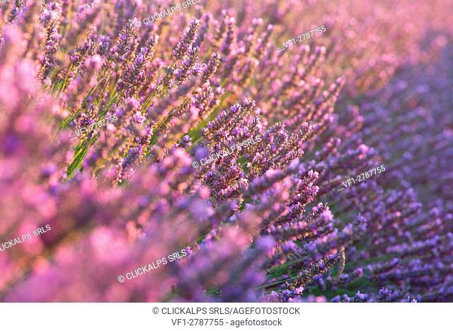 Europe, France,Provence Alpes Cote d'Azur,Plateau of Valensole. Lavender Flowers