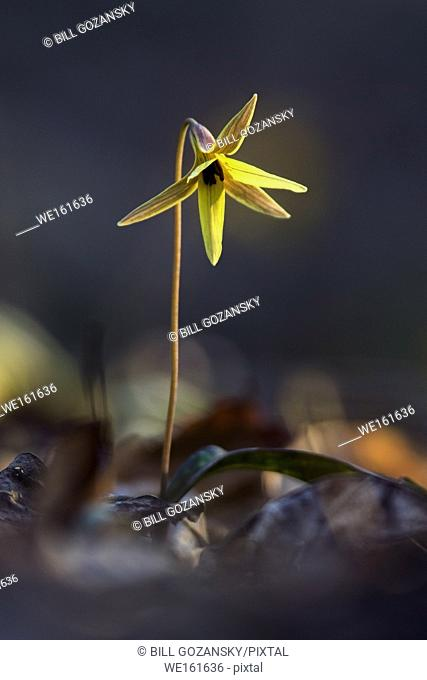 Trout Lily (very shallow depth-of-field) - Holmes State Educational Forest - Hendersonville, North Carolina, USA