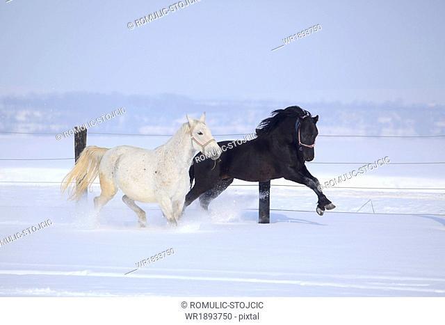 Horses running in snow, Baranja, Croatia