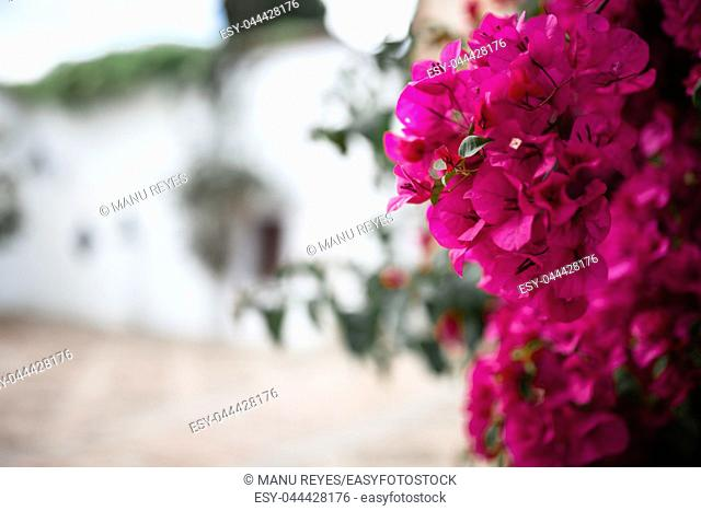 Big bougainvillea in a typical andalusian courtyard in Cordoba, Andalusia Spain with a lot of plants