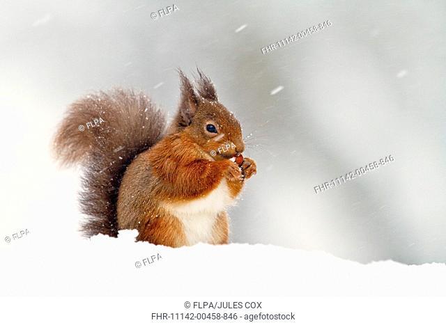 Eurasian Red Squirrel Sciurus vulgaris adult, feeding, sitting in snow during snowfall, Cairngorms N P , Highlands, Scotland, december