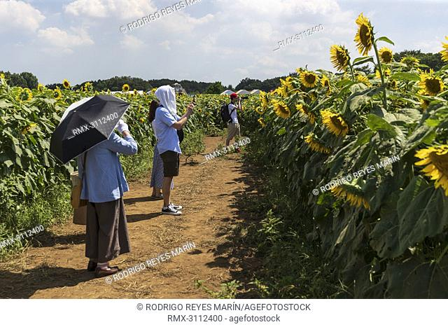 August 27, 2018, Tokyo, Japan - People take photographs of the sunflowers growing in a field during the 'Kiyose sunflower festival' in Tokyo