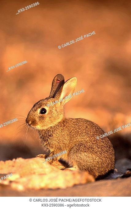 Un Conejo Europeo (Oryctolagus cuniculus) en S Albufera de Mallorca, Islas Baleares