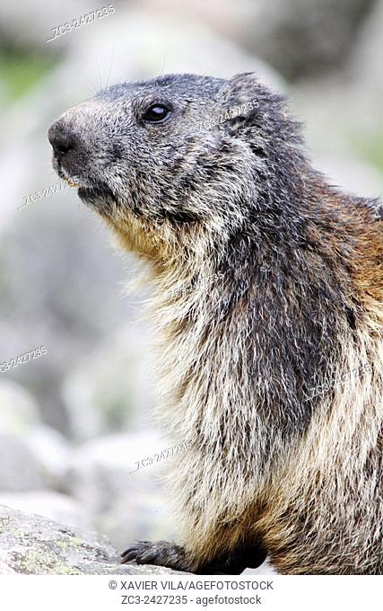 Alpine Marmot, Marmota marmota, Ecrins National Park, Lauvitel, Isere, Rhone Alpes, France