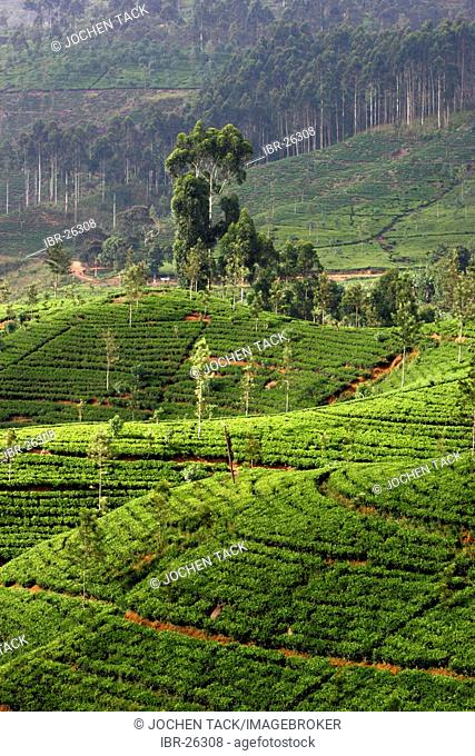 LKA, Sri Lanka : Nuwara Eliya, Highlands, tea plantaion area