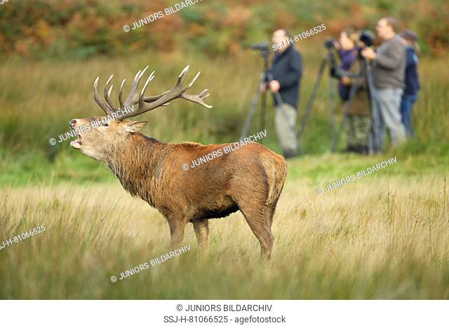Red Deer (Cervus elaphus). Stag bellowing with photographers in background, Richmond Park, London, England