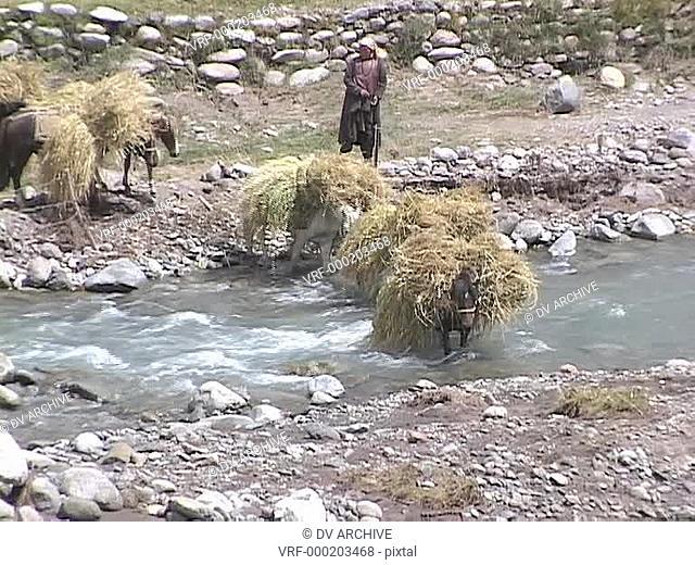 Horses carry bundles of wheat across a stream