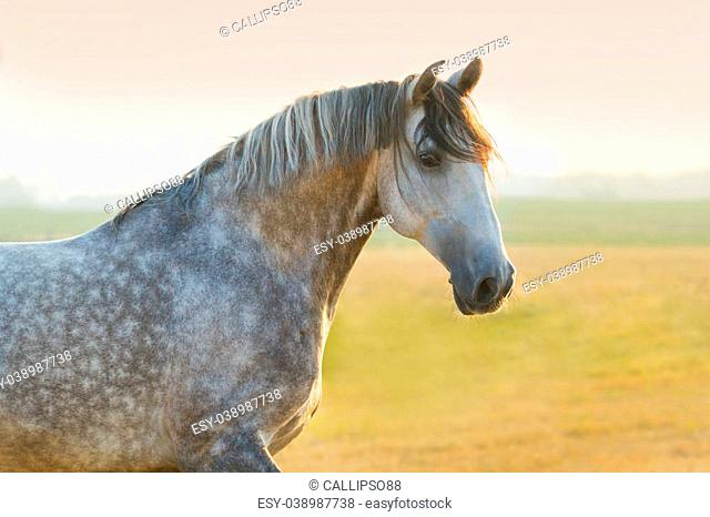 Grey lusitano horse portrait at sunrise