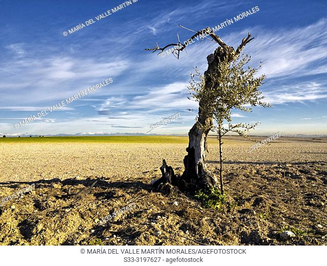 Olive tree alone in the fields of Pinto. Madrid. Spain