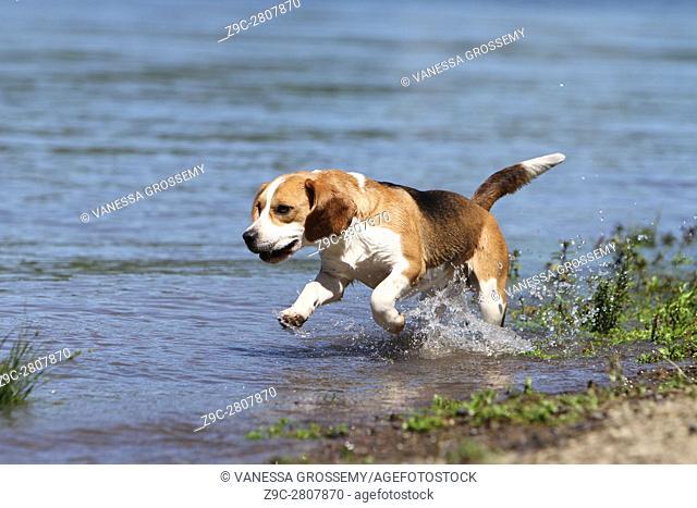 A Beagle dog runs along a lake