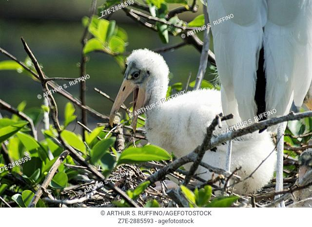 Wood stork chick in nest, Florida, USA