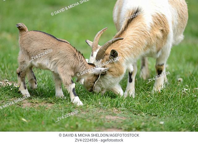 Close-up of domestic goat (Capra aegagrus hircus) mother with her kids on a meadow in spring