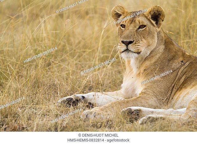 Kenya, Masai Mara National Reserve, lion (Panthera leo), female