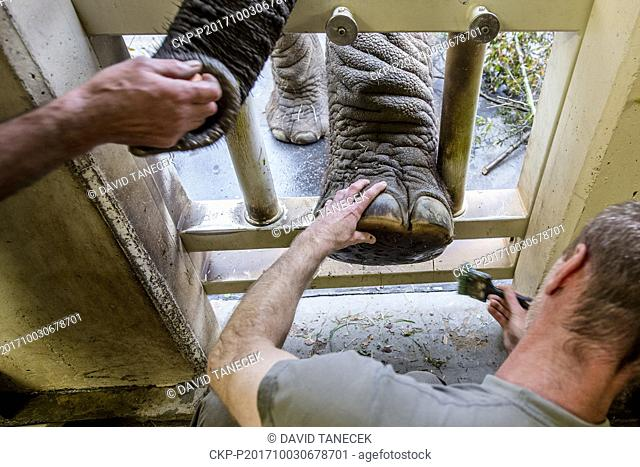Breeders of Dvur Kralove Zoo carried out the pedicure of African bush elephants (Loxodonta africana) in Dvur Kralove nad Labem, Czech Republic,on October 3