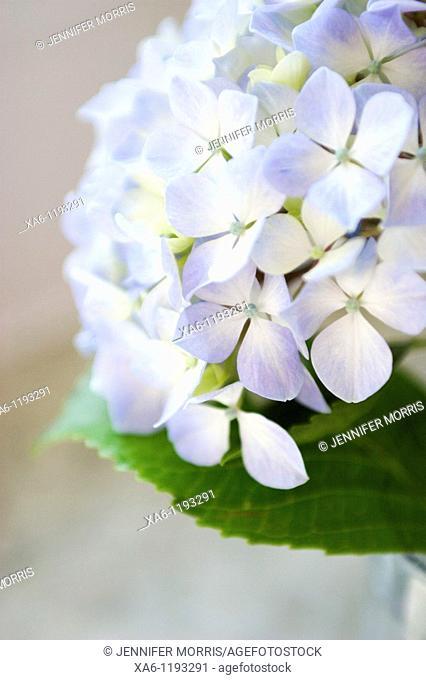 A blue and cream hydrangea flower