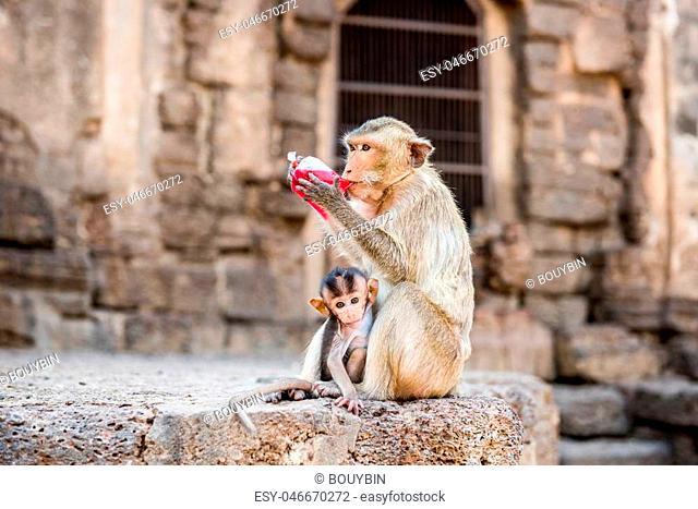 Monkey drinking red nectar