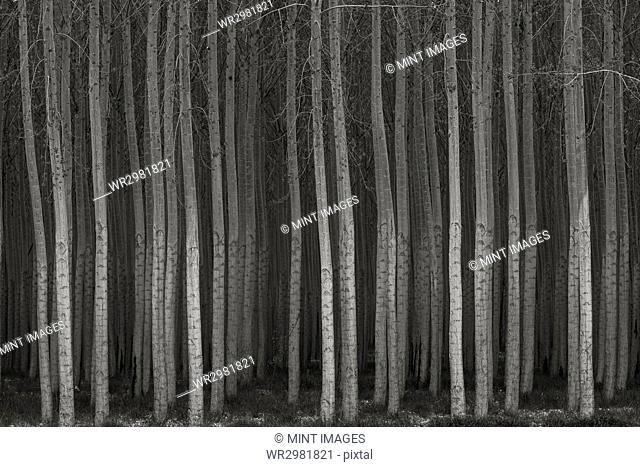 Rows of commercially grown poplar trees in a plantation with straight trunks, densely planted
