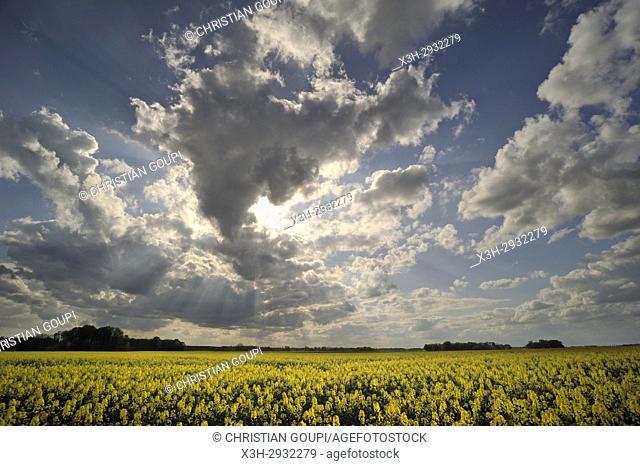 rapeseed field, Eure-et-Loir department, Centre-Val de Loire region, France, Europe