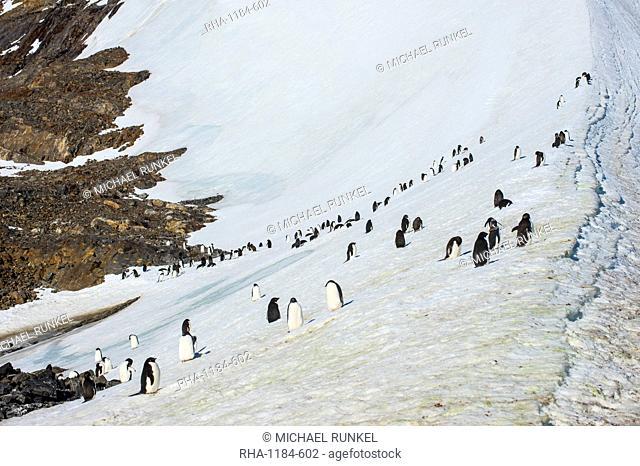 Penguins, Hope Bay, Antarctica, Polar Regions