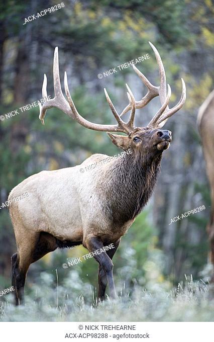 Cervus canadensis nelsoni, rocky mountain elk, rut, Alberta, Canada, bull, male