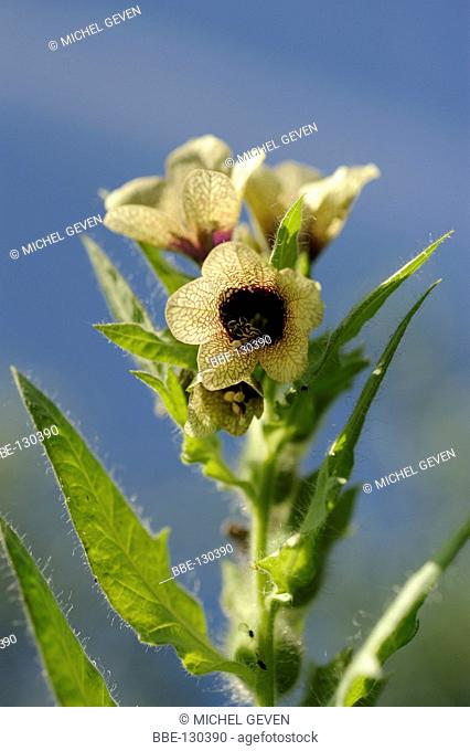 Black Henbane flowering along the side of the road