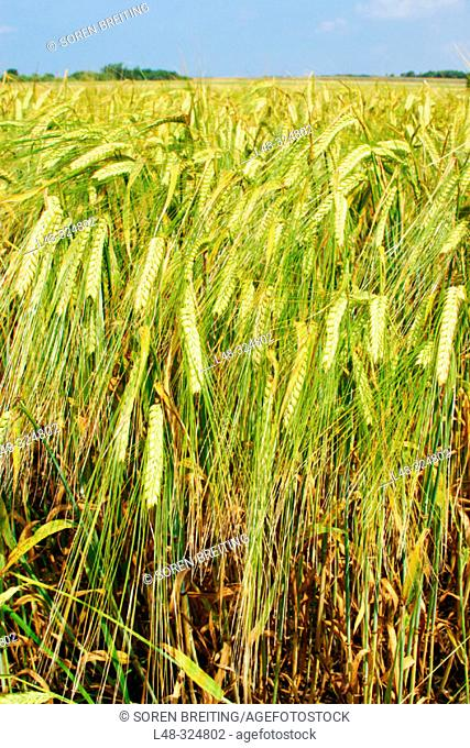 Barley field in landscape in summer in Denmark, Scandinavia, Northern Europe. (Hordeum vulgare)