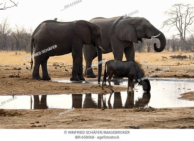African Bush Elephants or Savanna Elephants (Loxodonta africana) at a waterhole, Moremi Game Reserve, Botswana, Africa
