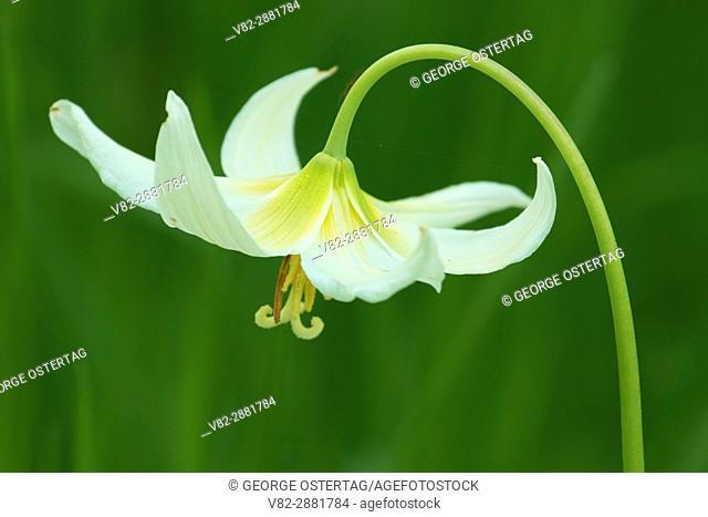 Fawn lily (Erythronium oreganum), Bushs Pasture Park, Salem, Oregon
