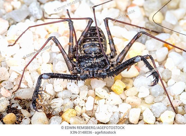Tailless Whip Scorpion (Amblypygi)