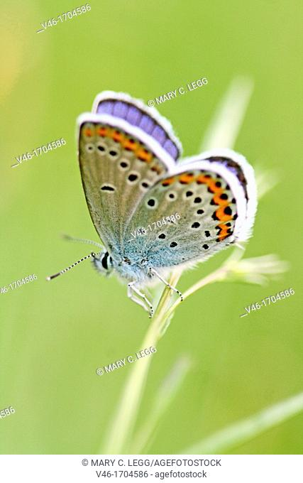 Reverdin's Blue, Plebeius argyrognomon on borage  Male  Underwings markings clearly visible