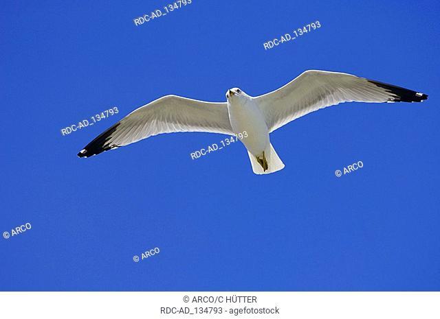 Ring-billed Gull Sanibel Island Florida USA Larus delawarensis